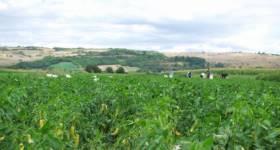 Somborka pepper field in Rogova village_thumb5